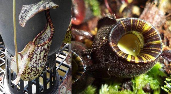 "Nepenthes rafflesiana ""dark"" x ampullaria ""Black Miracle"" dunkel, hell, mix"